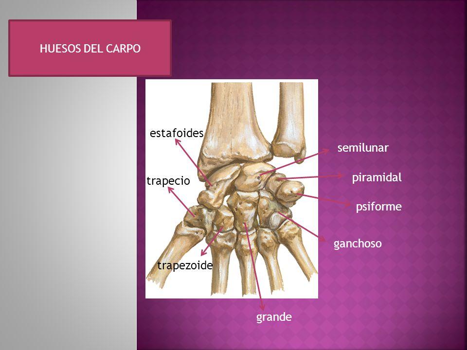 Falanges y metacarpos metacarpos base cuerpo cabeza falanges proximal intermedio distal