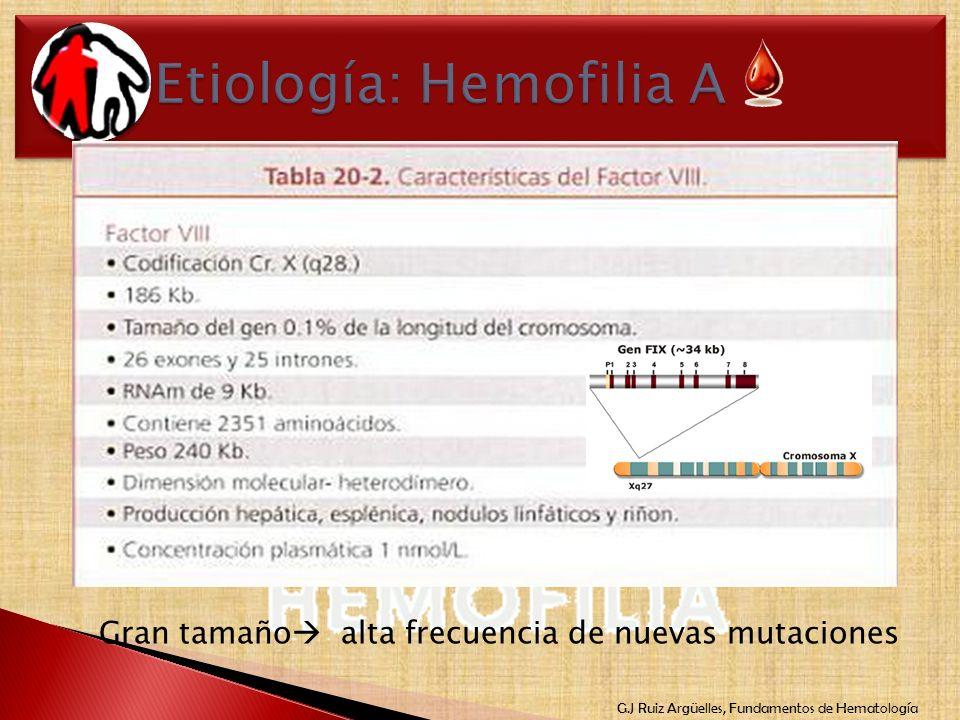 G.J Ruiz Argüelles, Fundamentos de Hematología Gen FVIII:C X(q28) 186 kb (0.1% cromosoma) 26 exónes ARNm 9kb Homología FV:C Sitio de síntesis Hepatoci