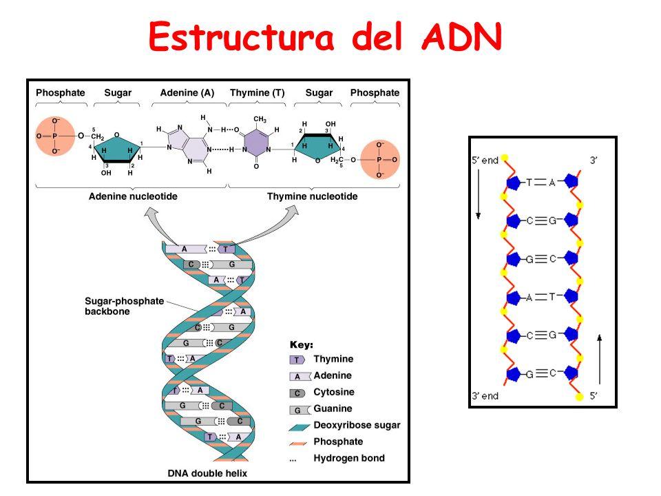 Funciones de los ácidos nucléicos