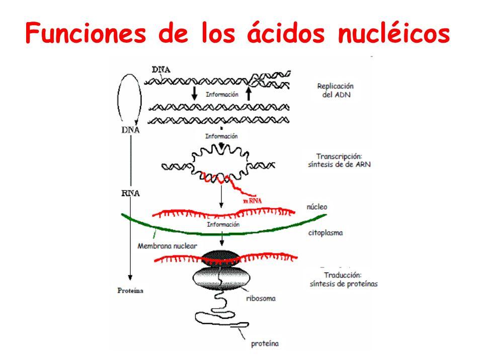 Conjugación: Importancia Bacterias Gram - Resistencia antimicrobianos Diseminación rápida Bacterias Gram + Producción de factores de adherencia Resistencia antimicrobianos