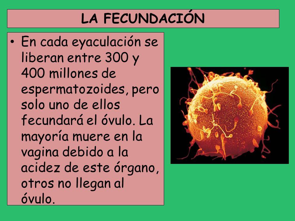 LA FECUNDACIÓN En cada eyaculación se liberan entre 300 y 400 millones de espermatozoides, pero solo uno de ellos fecundará el óvulo. La mayoría muere