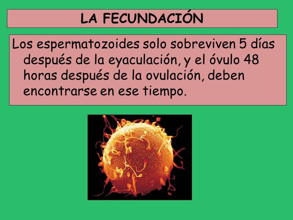 LA FECUNDACIÓN Los espermatozoides solo sobreviven 5 días después de la eyaculación, y el óvulo 48 horas después de la ovulación, deben encontrarse en