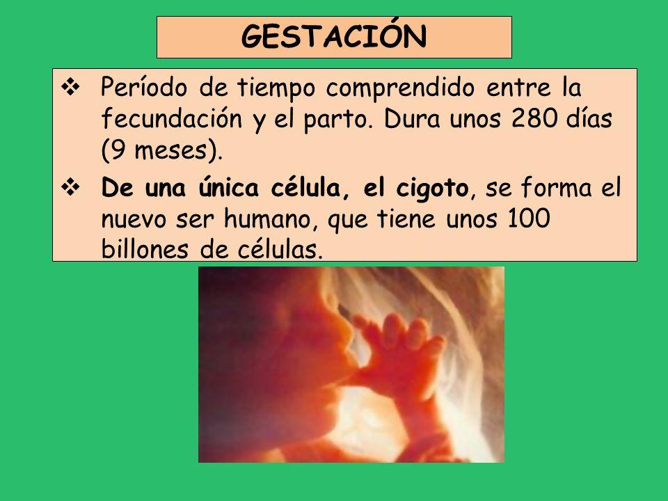 GESTACIÓN Período de tiempo comprendido entre la fecundación y el parto. Dura unos 280 días (9 meses). De una única célula, el cigoto, se forma el nue