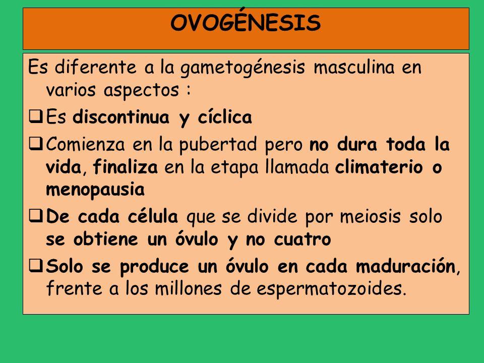 OVOGÉNESIS Es diferente a la gametogénesis masculina en varios aspectos : Es discontinua y cíclica Comienza en la pubertad pero no dura toda la vida,