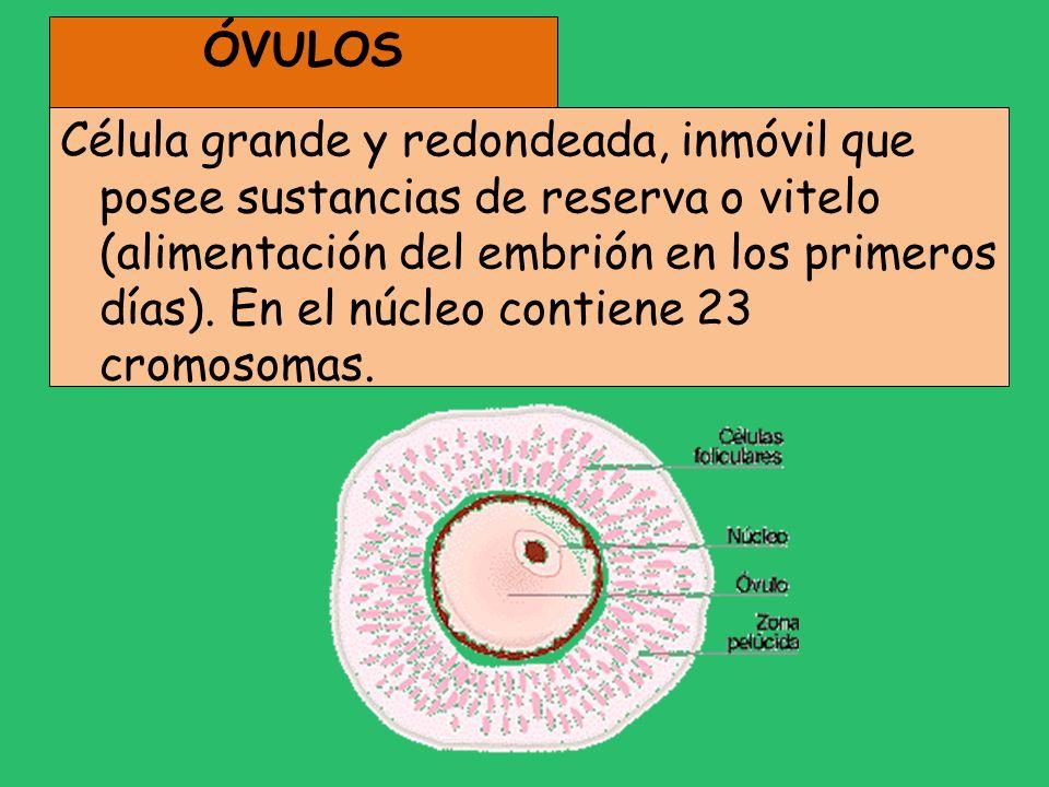 ÓVULOS Célula grande y redondeada, inmóvil que posee sustancias de reserva o vitelo (alimentación del embrión en los primeros días). En el núcleo cont