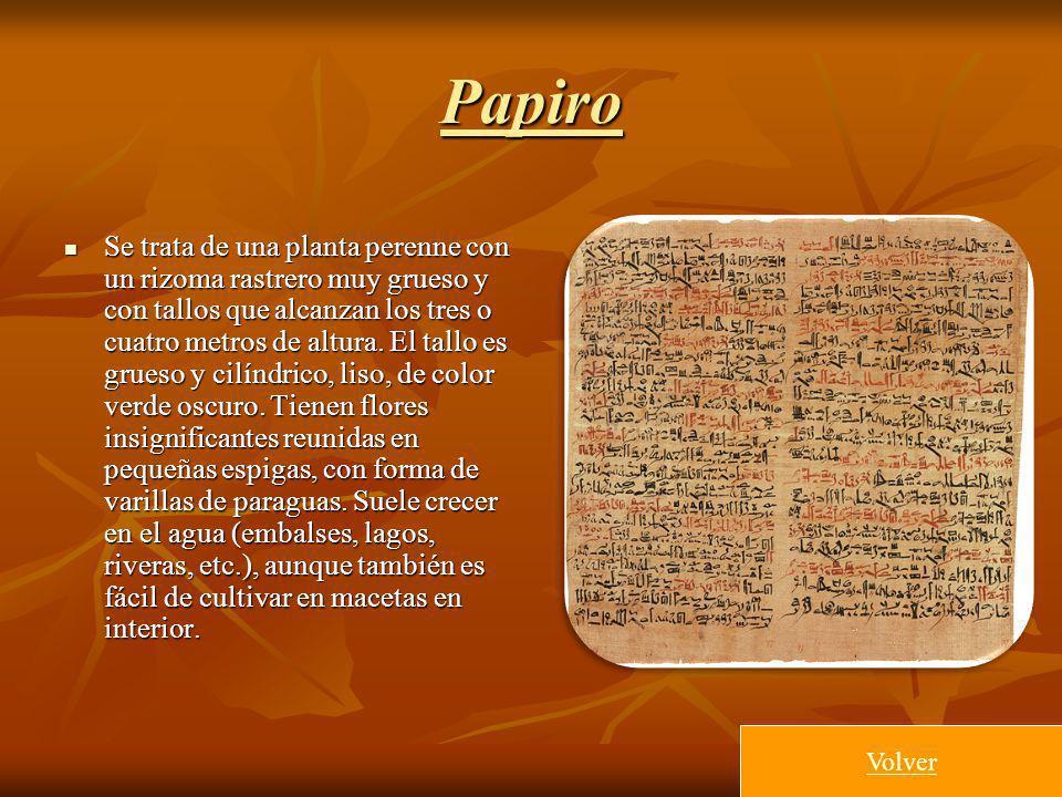 Papiro Se trata de una planta perenne con un rizoma rastrero muy grueso y con tallos que alcanzan los tres o cuatro metros de altura. El tallo es grue