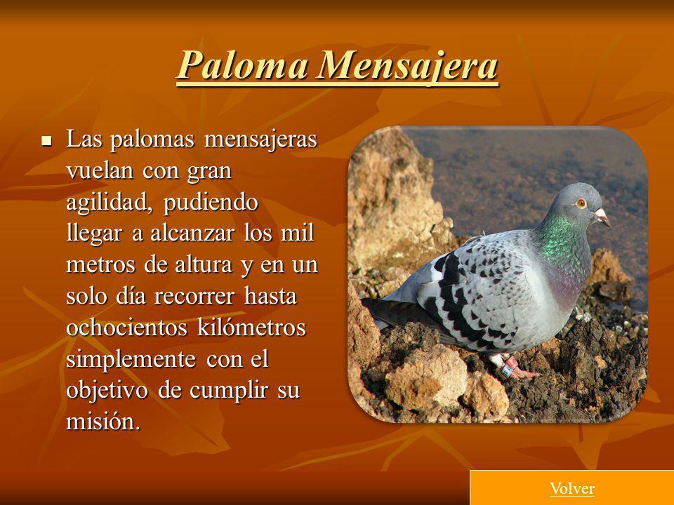 Paloma Mensajera Las palomas mensajeras vuelan con gran agilidad, pudiendo llegar a alcanzar los mil metros de altura y en un solo día recorrer hasta