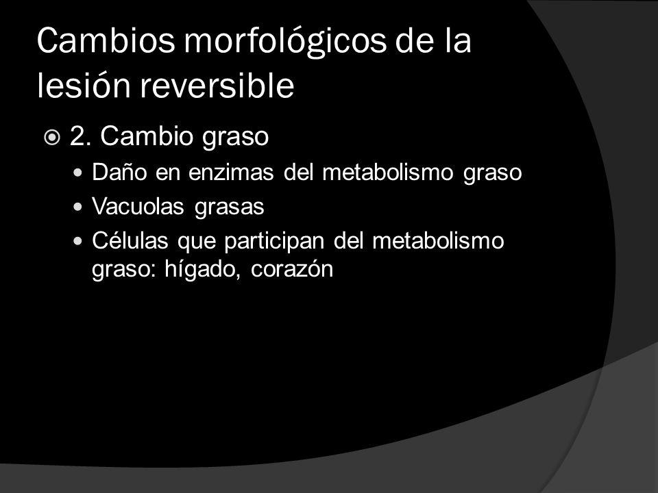 Cambios morfológicos de la lesión reversible 2. Cambio graso Daño en enzimas del metabolismo graso Vacuolas grasas Células que participan del metaboli