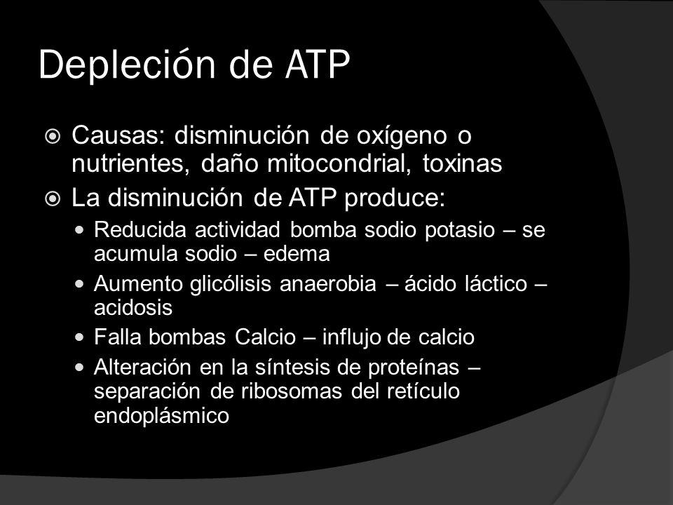 Depleción de ATP Causas: disminución de oxígeno o nutrientes, daño mitocondrial, toxinas La disminución de ATP produce: Reducida actividad bomba sodio