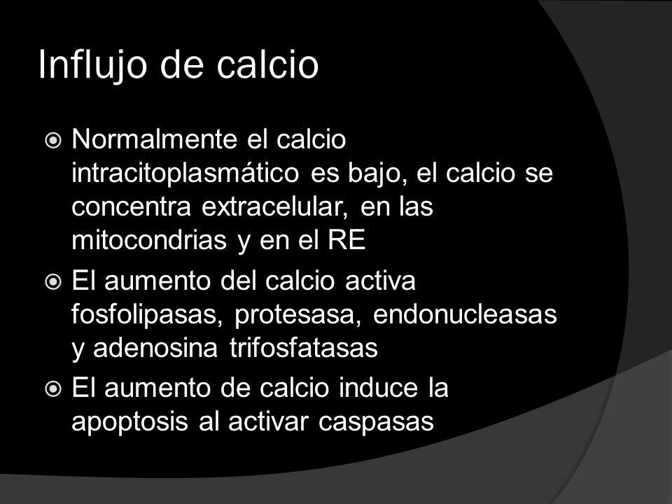 Influjo de calcio Normalmente el calcio intracitoplasmático es bajo, el calcio se concentra extracelular, en las mitocondrias y en el RE El aumento de