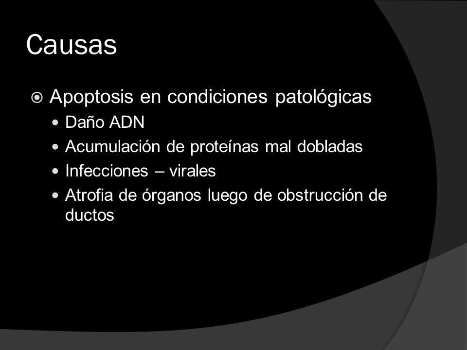 Causas Apoptosis en condiciones patológicas Daño ADN Acumulación de proteínas mal dobladas Infecciones – virales Atrofia de órganos luego de obstrucci