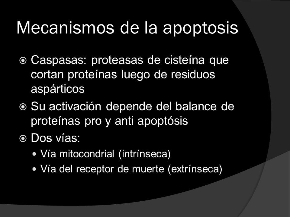 Mecanismos de la apoptosis Caspasas: proteasas de cisteína que cortan proteínas luego de residuos aspárticos Su activación depende del balance de prot