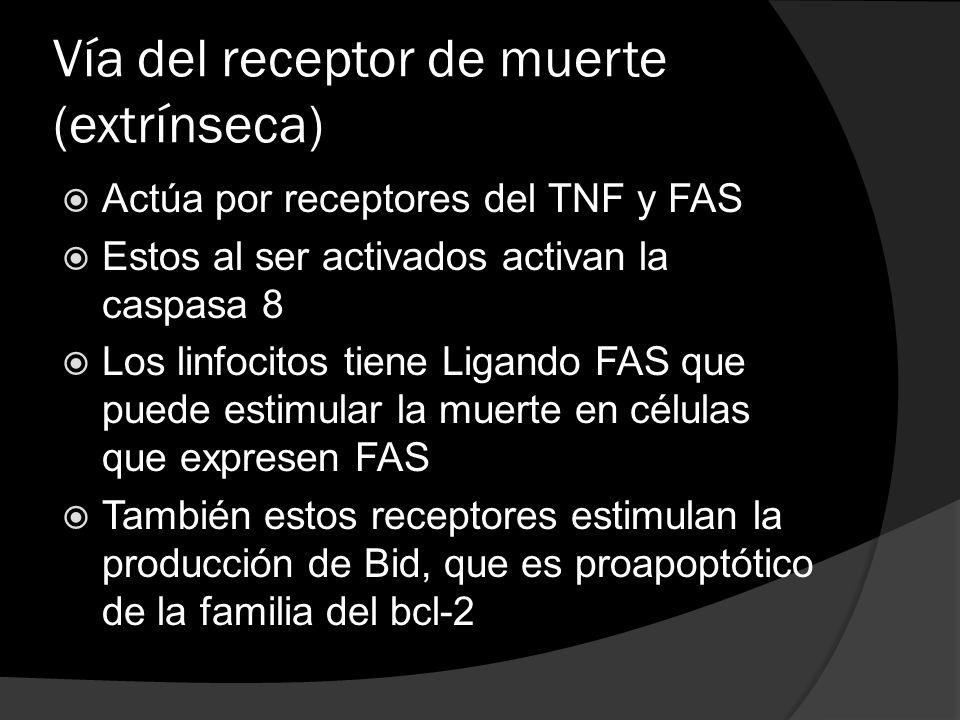 Vía del receptor de muerte (extrínseca) Actúa por receptores del TNF y FAS Estos al ser activados activan la caspasa 8 Los linfocitos tiene Ligando FA