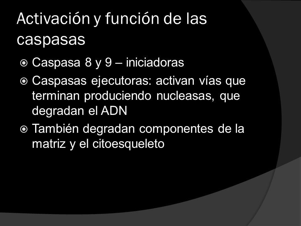 Activación y función de las caspasas Caspasa 8 y 9 – iniciadoras Caspasas ejecutoras: activan vías que terminan produciendo nucleasas, que degradan el