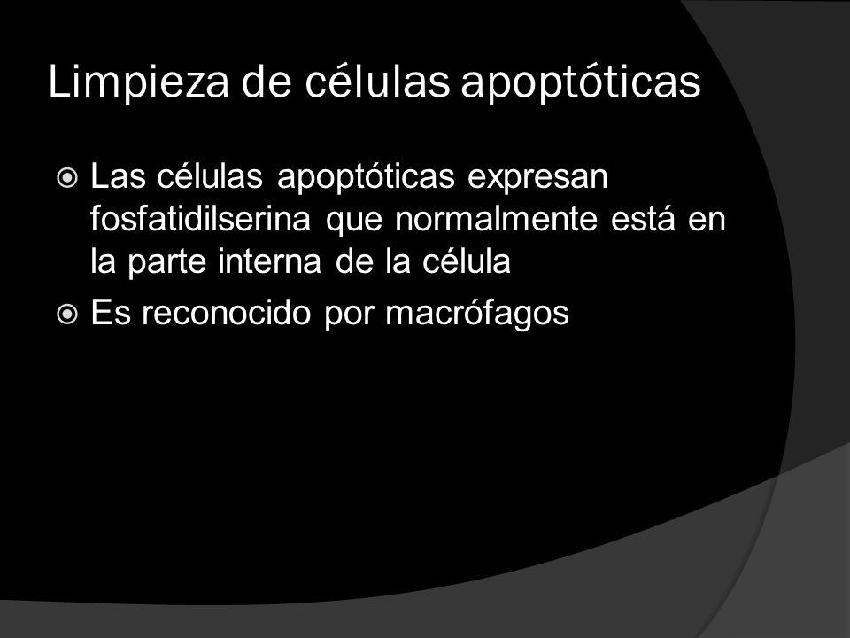Limpieza de células apoptóticas Las células apoptóticas expresan fosfatidilserina que normalmente está en la parte interna de la célula Es reconocido