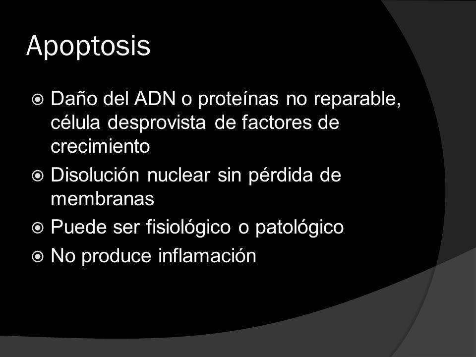 Apoptosis Daño del ADN o proteínas no reparable, célula desprovista de factores de crecimiento Disolución nuclear sin pérdida de membranas Puede ser f