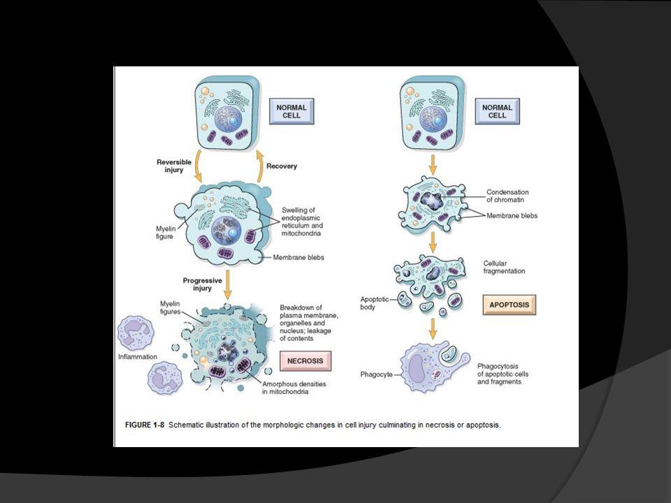 Daño mitocondrial El daño produce: Depleción ATP Fosforilización oxidativa anormal – radicales libres Salida de citocromos que inician apoptosis