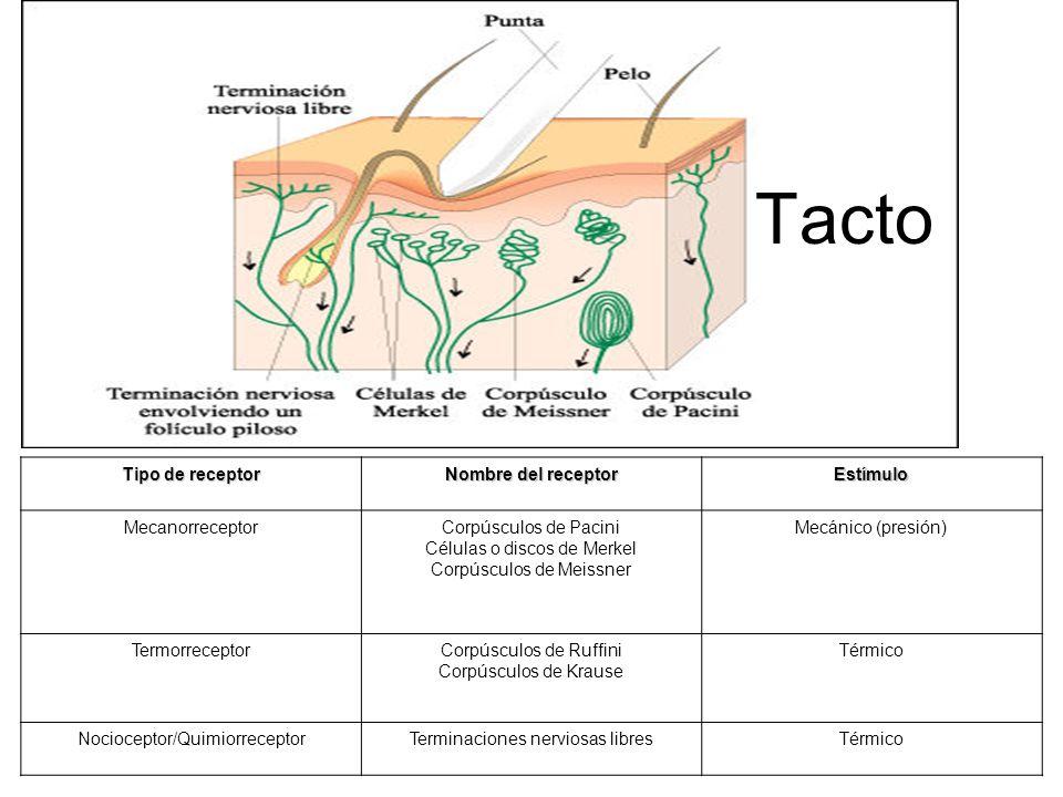 Tipo de receptor Nombre del receptor Estímulo MecanorreceptorCorpúsculos de Pacini Células o discos de Merkel Corpúsculos de Meissner Mecánico (presió