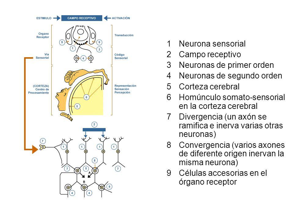 1Neurona sensorial 2Campo receptivo 3Neuronas de primer orden 4Neuronas de segundo orden 5Corteza cerebral 6Homúnculo somato-sensorial en la corteza cerebral 7Divergencia (un axón se ramifica e inerva varias otras neuronas) 8Convergencia (varios axones de diferente origen inervan la misma neurona) 9Células accesorias en el órgano receptor