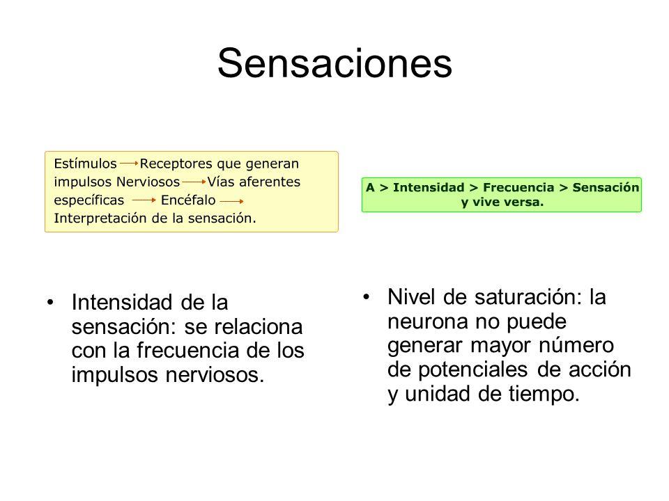 Sensaciones Intensidad de la sensación: se relaciona con la frecuencia de los impulsos nerviosos. Nivel de saturación: la neurona no puede generar may