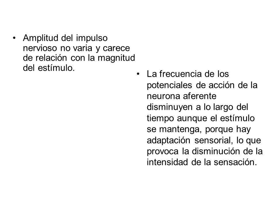 Amplitud del impulso nervioso no varia y carece de relación con la magnitud del estímulo. La frecuencia de los potenciales de acción de la neurona afe