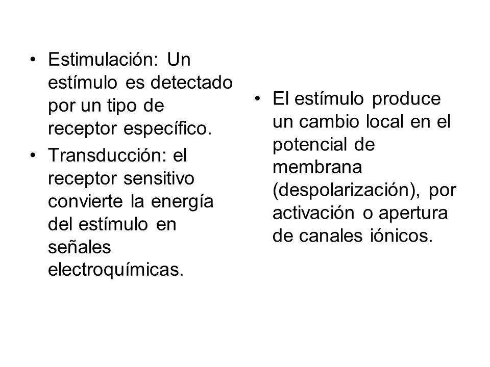 Estimulación: Un estímulo es detectado por un tipo de receptor específico. Transducción: el receptor sensitivo convierte la energía del estímulo en se