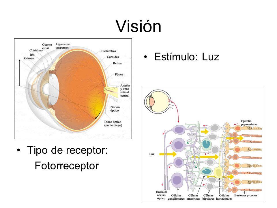 Tipo de receptor: Fotorreceptor Visión Estímulo: Luz