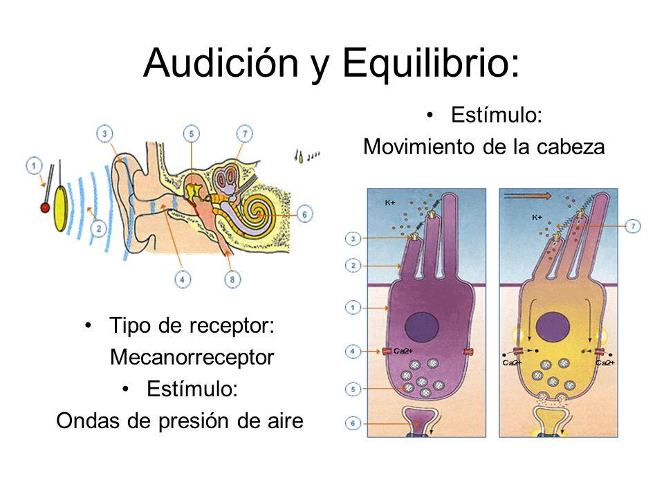 Audición y Equilibrio: Tipo de receptor: Mecanorreceptor Estímulo: Ondas de presión de aire Estímulo: Movimiento de la cabeza