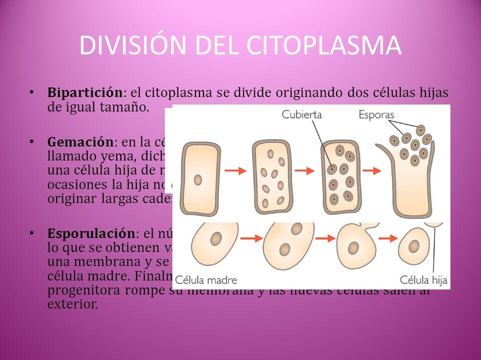 DIVISIÓN DEL CITOPLASMA Bipartición: el citoplasma se divide originando dos células hijas de igual tamaño. Gemación: en la célula madre se produce un