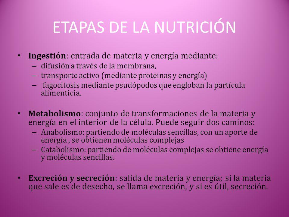 ETAPAS DE LA NUTRICIÓN Ingestión: entrada de materia y energía mediante: – difusión a través de la membrana, – transporte activo (mediante proteinas y