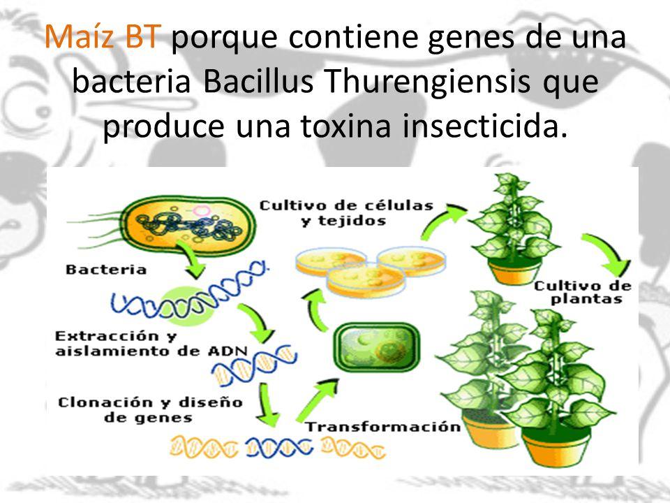Maíz BT porque contiene genes de una bacteria Bacillus Thurengiensis que produce una toxina insecticida.