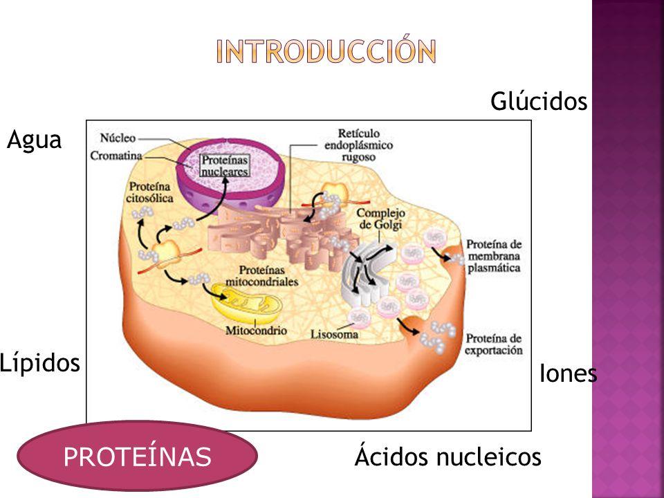 Glúcidos Agua Glúcidos Iones Lípidos Ácidos nucleicosPROTEÍNAS