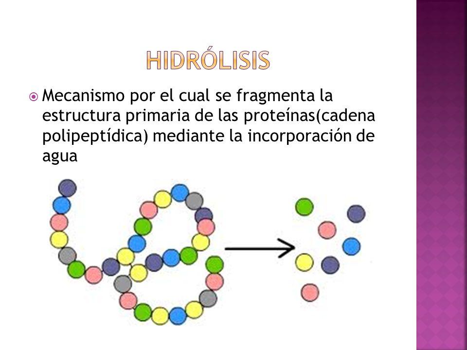 Mecanismo por el cual se fragmenta la estructura primaria de las proteínas(cadena polipeptídica) mediante la incorporación de agua