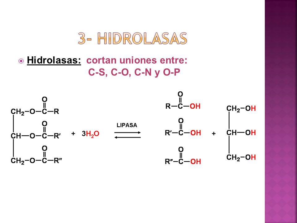 Hidrolasas: cortan uniones entre: C-S, C-O, C-N y O-P