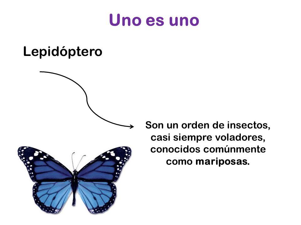 Lepidóptero Uno es uno Son un orden de insectos, casi siempre voladores, conocidos comúnmente como mariposas.