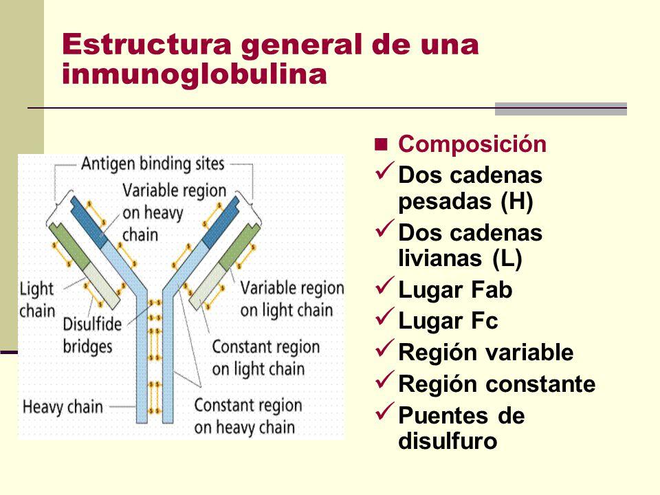Estructura general de una inmunoglobulina Composición Dos cadenas pesadas (H) Dos cadenas livianas (L) Lugar Fab Lugar Fc Región variable Región const
