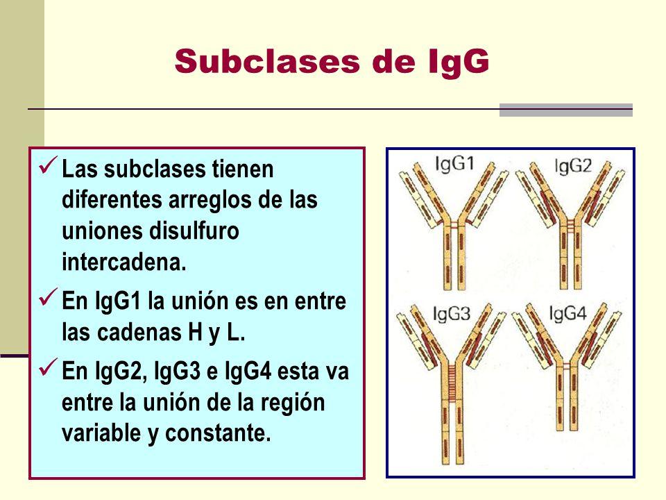 Subclases de IgG Las subclases tienen diferentes arreglos de las uniones disulfuro intercadena. En IgG1 la unión es en entre las cadenas H y L. En IgG