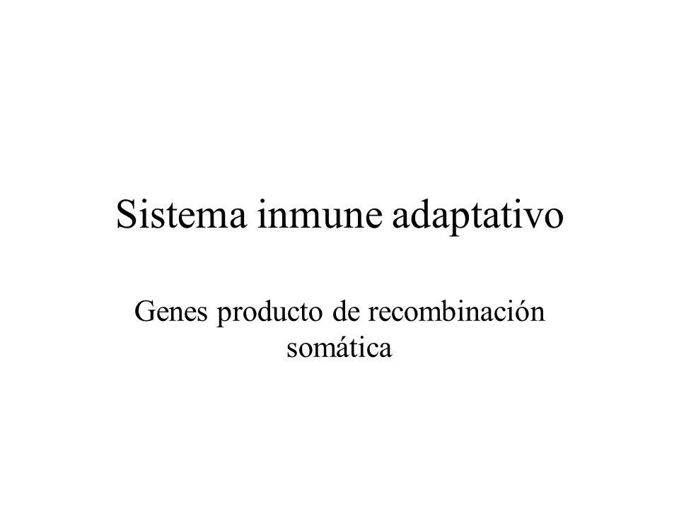 Sistema inmune adaptativo Genes producto de recombinación somática