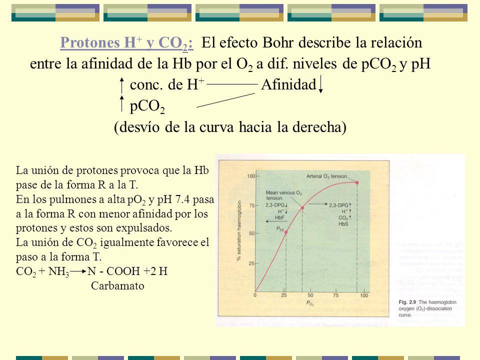 Protones H + y CO 2 : El efecto Bohr describe la relación entre la afinidad de la Hb por el O 2 a dif.