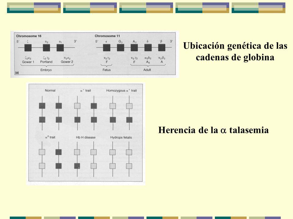 Herencia de la talasemia Ubicación genética de las cadenas de globina
