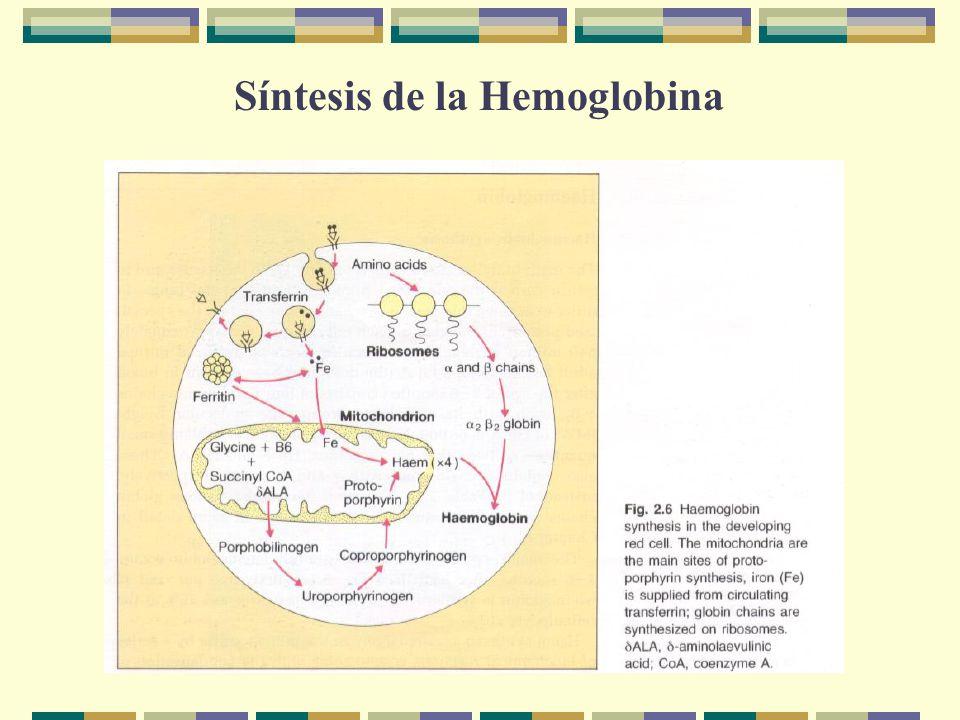 Síntesis de la Hemoglobina