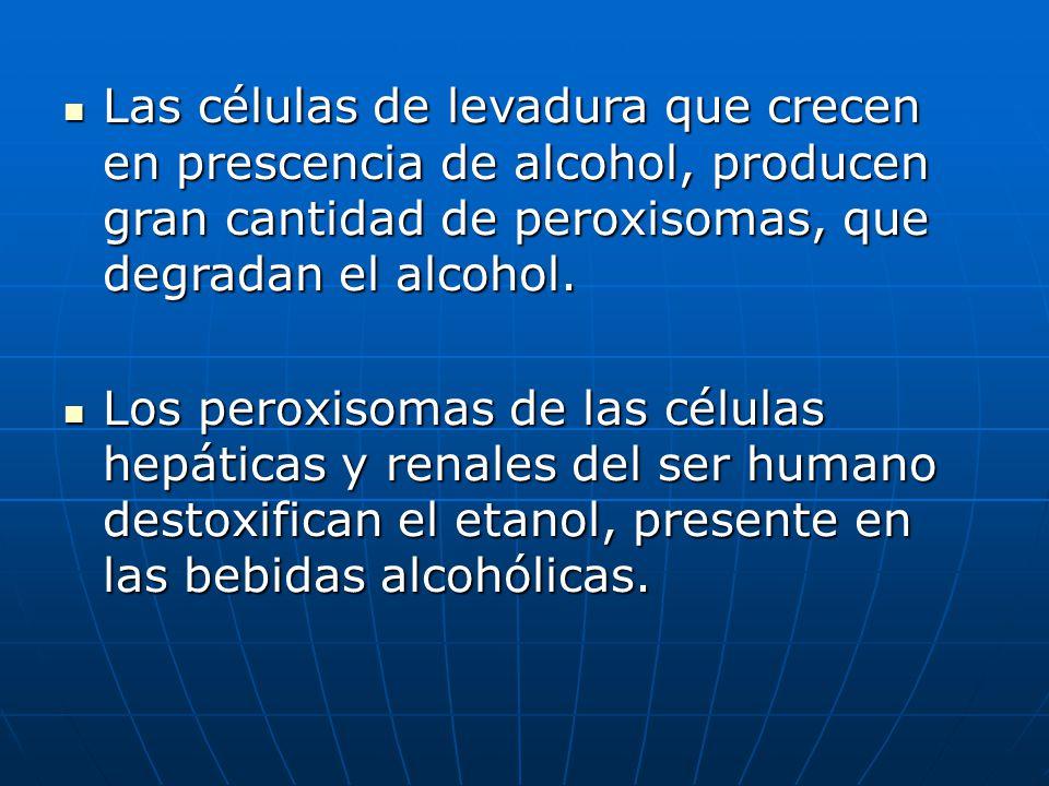 Las células de levadura que crecen en prescencia de alcohol, producen gran cantidad de peroxisomas, que degradan el alcohol. Las células de levadura q