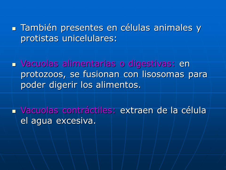 También presentes en células animales y protistas unicelulares: También presentes en células animales y protistas unicelulares: Vacuolas alimentarias