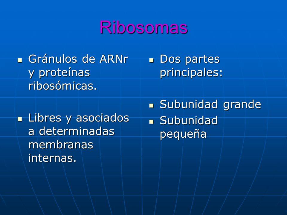 Ribosomas Gránulos de ARNr y proteínas ribosómicas. Gránulos de ARNr y proteínas ribosómicas. Libres y asociados a determinadas membranas internas. Li