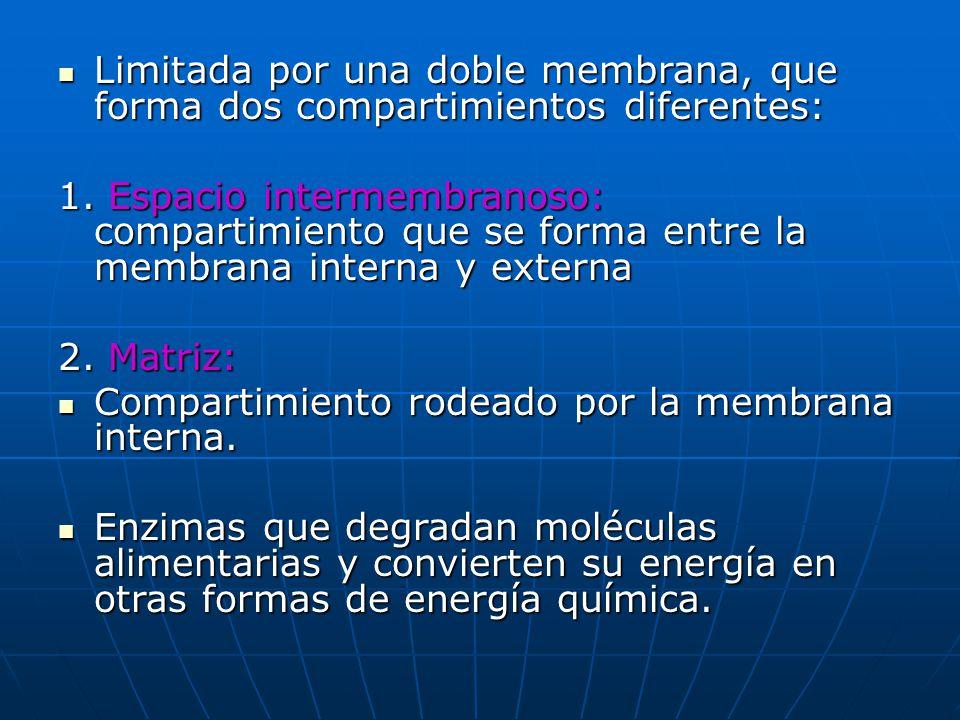 Limitada por una doble membrana, que forma dos compartimientos diferentes: Limitada por una doble membrana, que forma dos compartimientos diferentes: