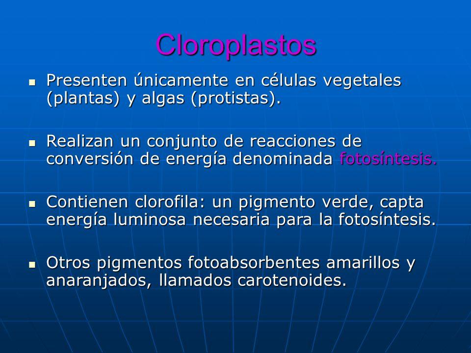 Cloroplastos Presenten únicamente en células vegetales (plantas) y algas (protistas). Presenten únicamente en células vegetales (plantas) y algas (pro