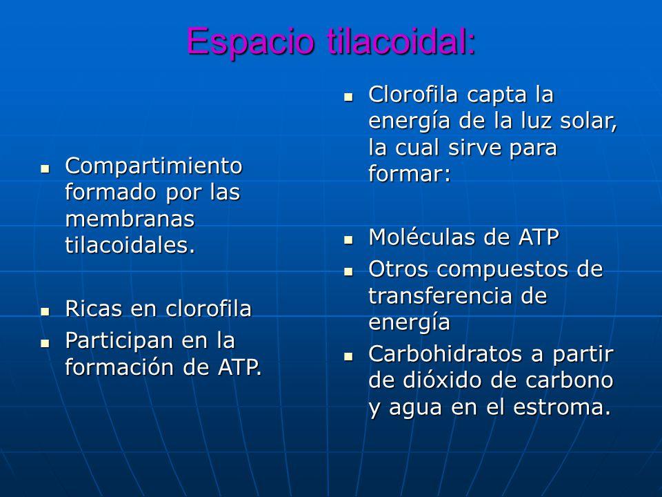 Espacio tilacoidal: Compartimiento formado por las membranas tilacoidales. Compartimiento formado por las membranas tilacoidales. Ricas en clorofila R