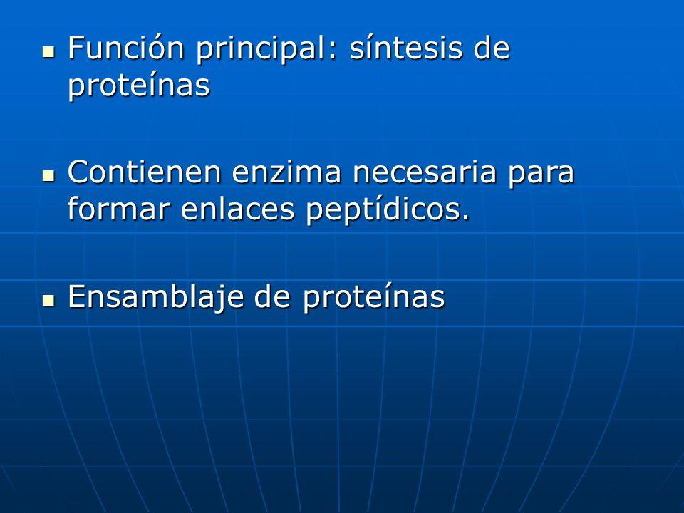 Función principal: síntesis de proteínas Función principal: síntesis de proteínas Contienen enzima necesaria para formar enlaces peptídicos. Contienen