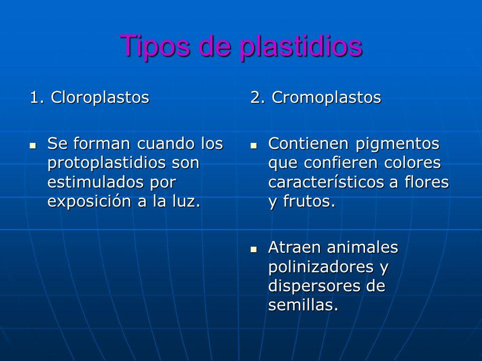 Tipos de plastidios 1. Cloroplastos Se forman cuando los protoplastidios son estimulados por exposición a la luz. Se forman cuando los protoplastidios