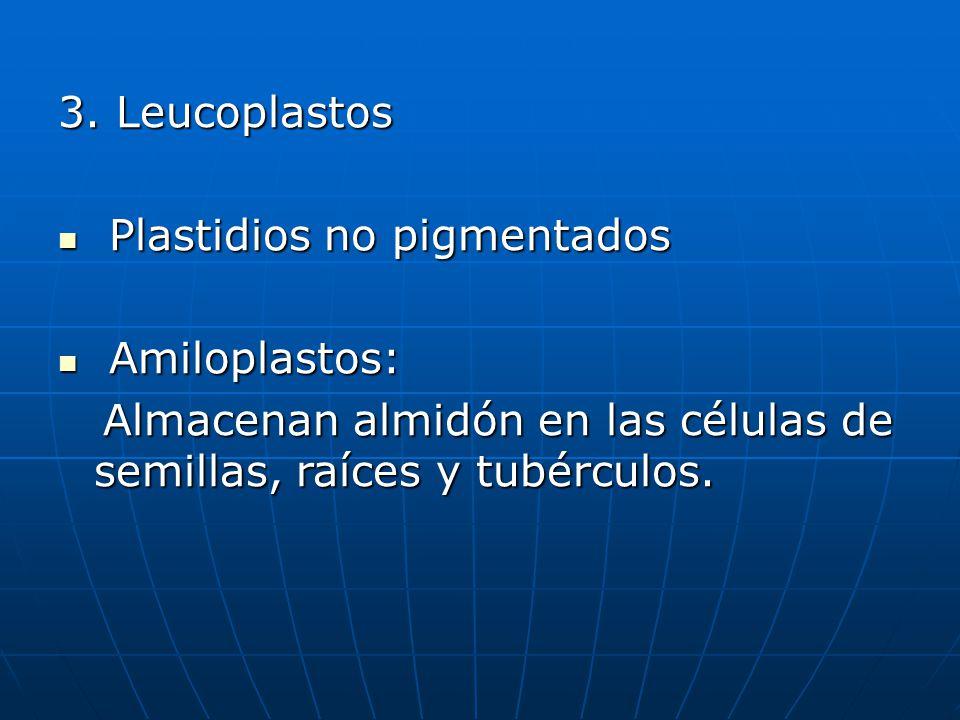 3. Leucoplastos Plastidios no pigmentados Plastidios no pigmentados Amiloplastos: Amiloplastos: Almacenan almidón en las células de semillas, raíces y